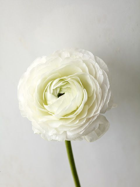 White persian buttercup (Ranunculus asiaticus), witte ranonkel