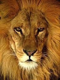 Afbeeldingsresultaat voor zwart leeuw
