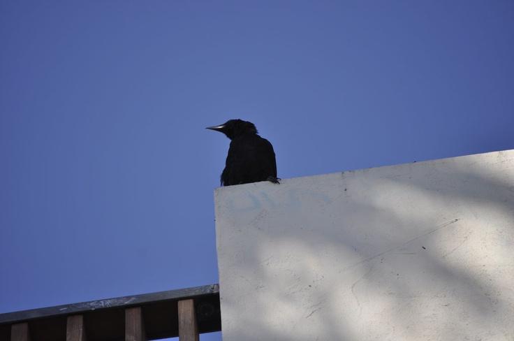 Crow in Santa BarbaraSanta Barbara