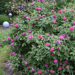 Kübel - Rose de Resht #4 - Purpur-Violett - Rosa_damascena - Historische_Rosen - Rosen - Rosen von Schultheis