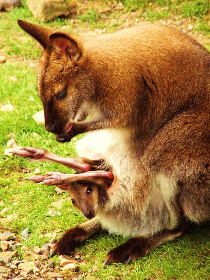 30 besten Kangaroo. Bilder auf Pinterest | Kängurus, Animal kingdom ...