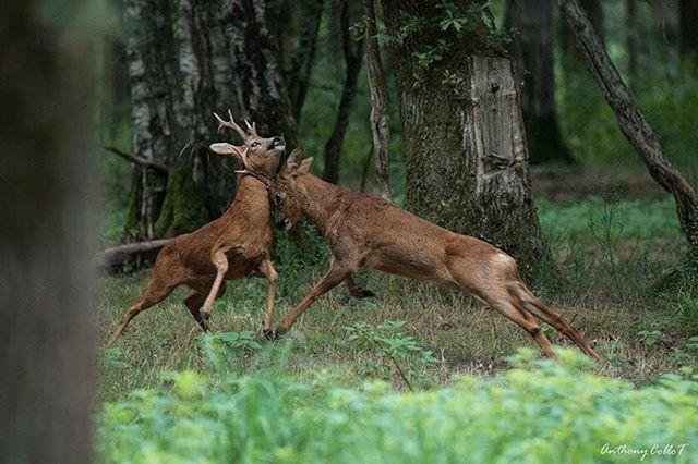 Caution!! ⚠️ Incredible pic of Anthony Collo!! #huntinglife #rifles #roebuck #hunting #deerpics #huntinggame #huntingtrophy #hunter #caza #venado #fallowdeer #gamo #ibex #deer #jabali #whitetail #wolf #lobo #corzo #dog #bird #perdiz #muflon #oneandshothunting #wildboar #boar #pig #rehala