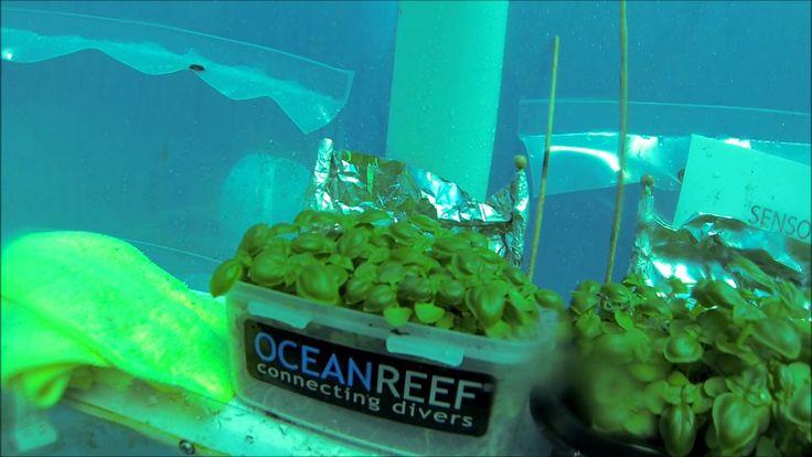 E' la Liguria la casa della coltivazione idroponica sottomarina, un nuovo modo di dedicarsi all'orto, più che green bisognerebbe dire blue, in quanto le so