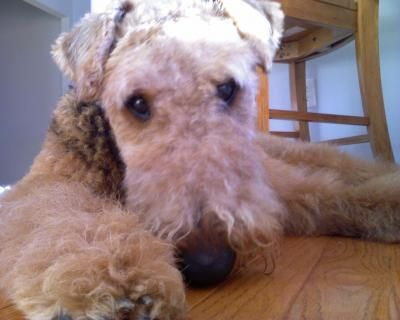 Airedale TerrierDogs  Airedale Terrier Dog Breed Info & Pictures   petMD