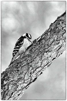downy woodpecker by romeo andrei cana stock photos and fine art