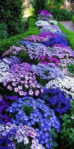 Cinerraria, vibrant part shade annuals.