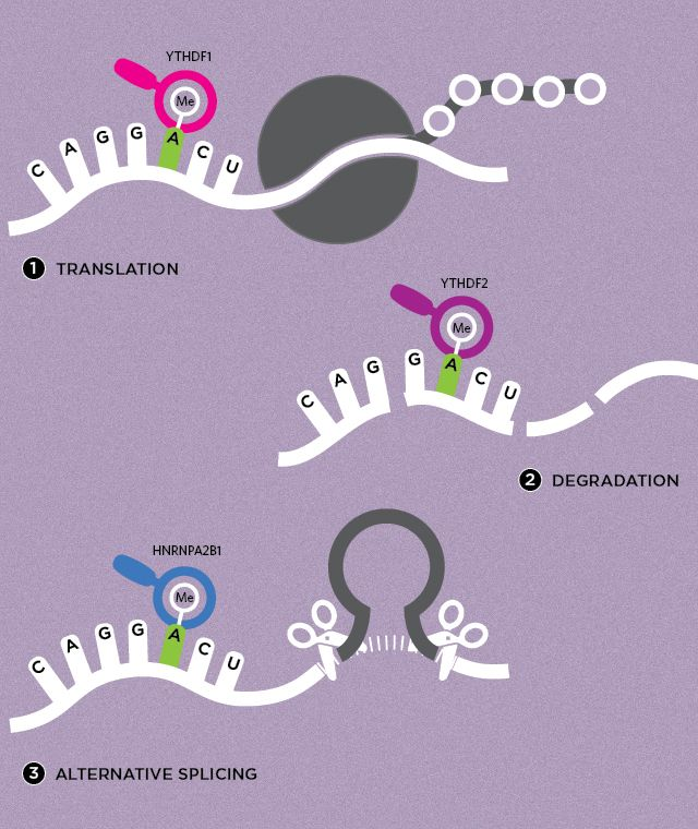 RNA Methylation Dynamics— Additions to the bases of RNA molecules can be written, read, and erased