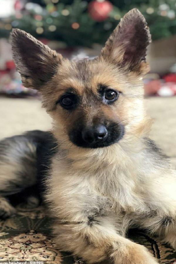 German Shepherd From Arizona Diagnosed Pituitary Dwarfism Will