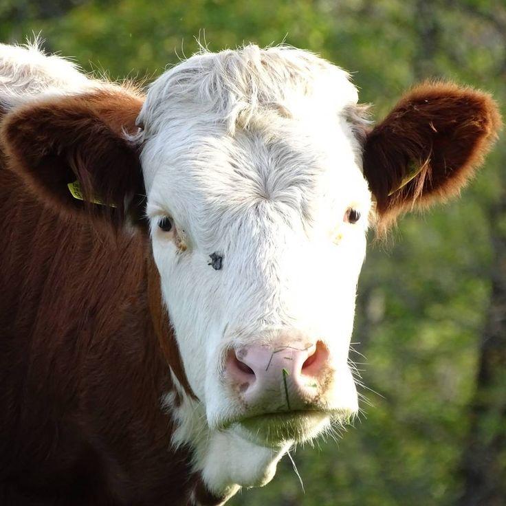 menzonyBoe!  #koeien #koe #cow #kuh #sonyphotography #sonyhx400v #farmlife #farmanimals #farmanimal #hochschwarzwald #boerderijdieren