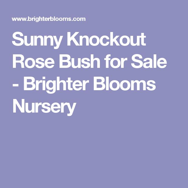 Sunny Knockout Rose Bush for Sale - Brighter Blooms Nursery