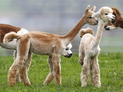 Your Daily Squee: Who Knew Freshly Shaved Alpacas Would Be This Cute?