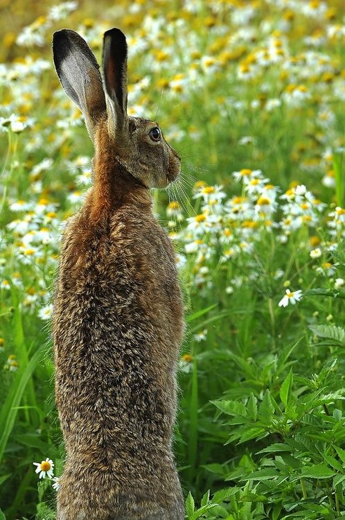 European Hare amoungst the ox-eye daisies