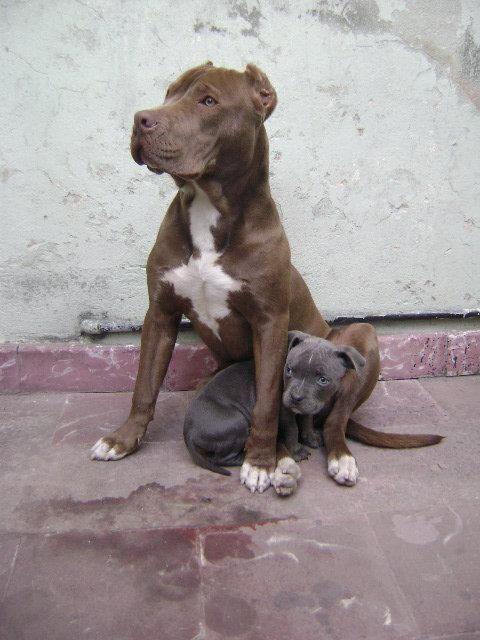 Pitbulls: Pitt Bull, Puppies, Pittie, Dogs, Pitbulls 3, Pit Bull, Baby, Bullies, Animal
