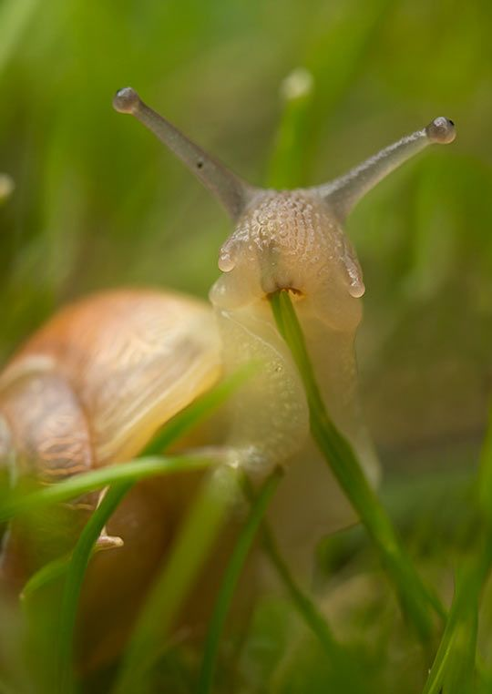 Photographer Interrupted This Snail While He Was Chowing Down On A Blade Of Grass