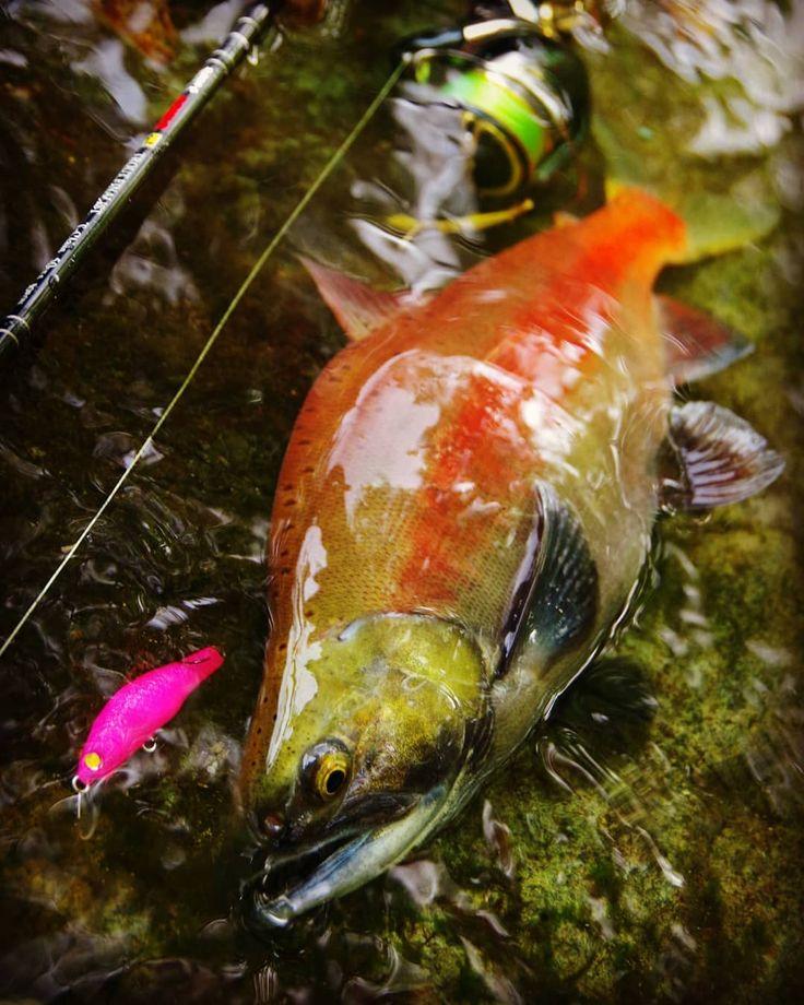 2017年シーズン釣果  今回の一番大きいヒメマス37良い色で良い感じの背っぱりでしたこの色のルアーで釣りたくなかったが視認性が良かったのでつい #ヒメマス#はめます#姫鱒#デンス#TIGRIS#魚の写真は目が命#ハンドメイドルアー#ハンドメイドミノー#イワナ#岩魚#いわな#渓流#ミノーイング#ミノー#釣り#トラウト#トラウトフィッシング#ルアーフィッシング#キャッチアンドリリース#As釣果 #写真が好きな人と繋がりたい #Fishing#Trout#Lure#LureFishing#TroutFishing#catchandrelease