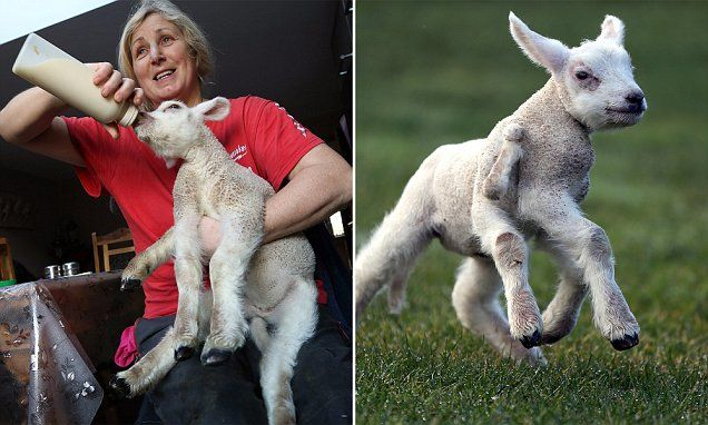 Lamb with FIVE AND A HALF limbs is fed by hand after mother rejects it
