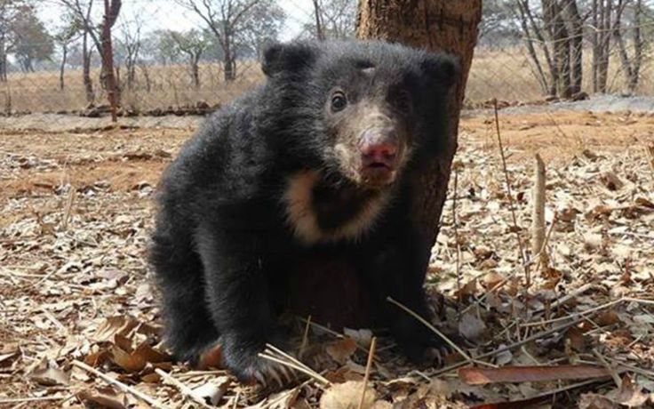 The poachers confessed to the crime and have been arrested for poaching a sloth bear under relevant sections of India's Wildlife Protection Act 1972.