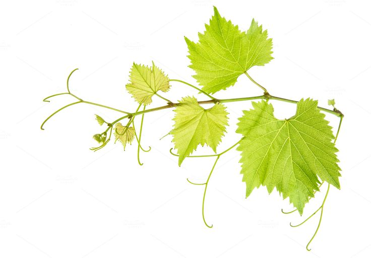 Vine leaves branch by LiliGraphie on @creativemarket