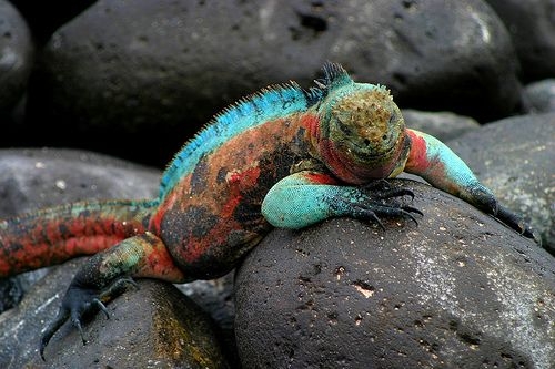 Sunglasses are definitely required for this one! The marine iguana (Amblyrhynchus cristatus) ... found only in the Galapagos. #lizard #reptile