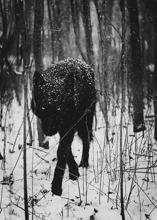 Lindo é pouco.  #wolf #wild #cold
