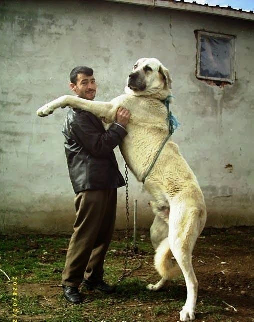 ... more anatolian shepherd big doggie largest dog kangal dog big dogs