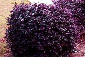 Top 10 Most Colorful Winter Landscape Plants: Loropetalum chinense called Purple Diamond. Found on Gardenality website