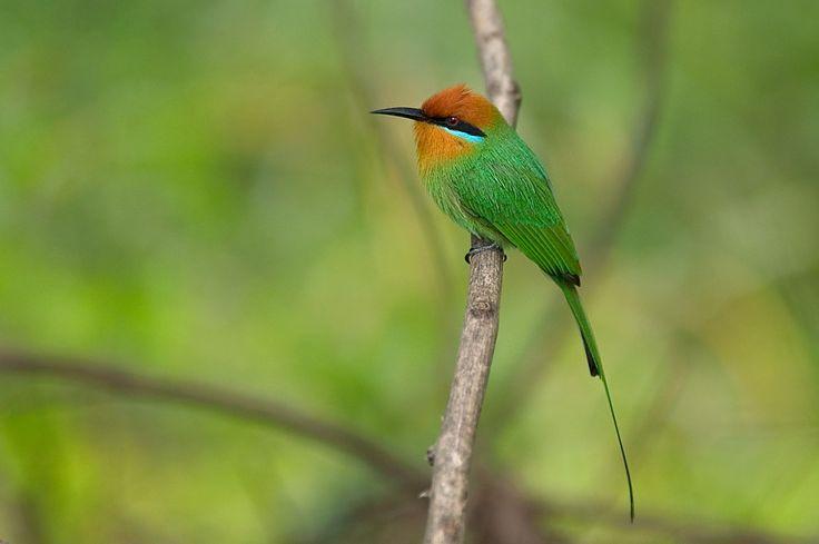 Oiseau Malawi
