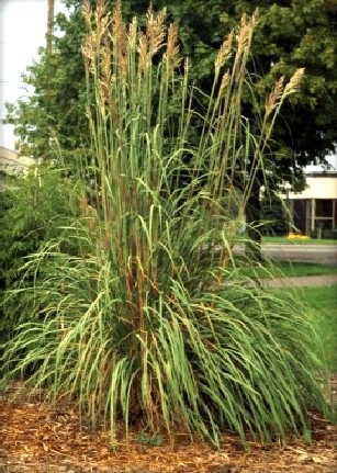 30 best images about my gardens how my gardens grow on for Tall ornamental grasses that grow in shade