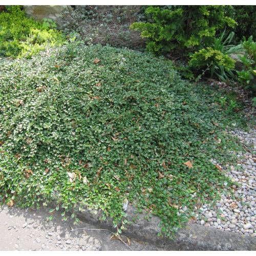 cotoneaster dammeri cubresuelos jardiner a ground covers lawn substitutes pinterest. Black Bedroom Furniture Sets. Home Design Ideas