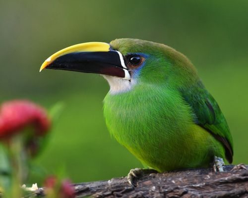 Emerald Toucanet - Appropriately named!
