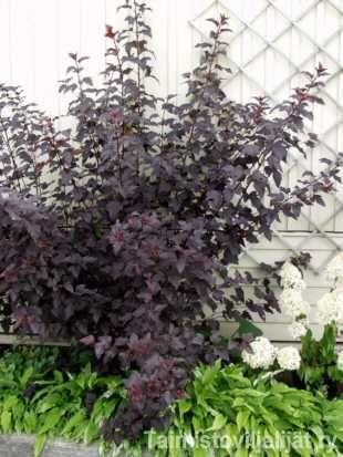 """Physocarpus opulifolius 'Diabolo' PURPPURAHEISIANGERVO  Terve, nopeasti kasvava lännenheisiangervo on """"jokapaikan"""" suoja- ja aitapensas. Se sietää tiesuolaa, tuulta ja seisovaa vettä sekä uusiutuu nopeasti alasleikkauksen jälkeen. Lehdistö: Rehevä; lehdet ja varret ovat tumman violetinpunaiset koko kasvukauden. Kukinta: Punertavanvalkoiset kukat avautuvat kesä–heinäkuussa. Hedelmät: Loppukesällä oksilla erottuvat tummahkonpunaiset siementuppilot, jotka jäävät kiinni oksiin talveksi…"""