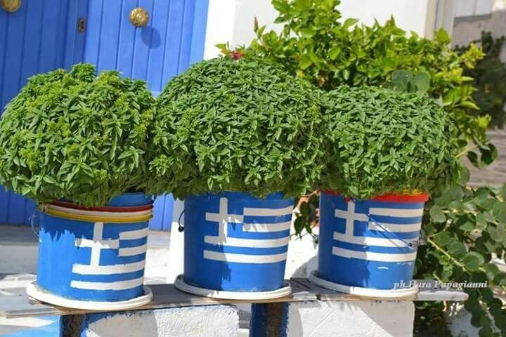 Vasilikos in Greek Flag pots-Can you get any more Greek?