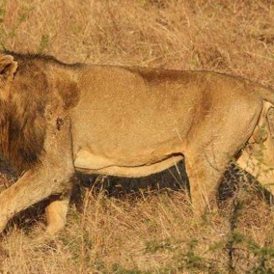 Wanita Melahirkan Anak Di Dalam Ambulans Dikelilingi Sedozen Singa  02 07 2017 Seekor singa India jantan di taman suaka Gir negara bagian Gujarat NEW DELH Manguben Makwana seorang wanita berusia 32 tahun membuat sensasi di India Ia dilaporkan melahirkan bayi laki laki di dalam ambulans yang dikelilingi sedo... Readmore: http://babab.net/feed/ http://ift.tt/2uyeCKA Readmore: http://ift.tt/2tvklny http://ift.tt/2tECFLx http://ift.tt/2tp9hsx