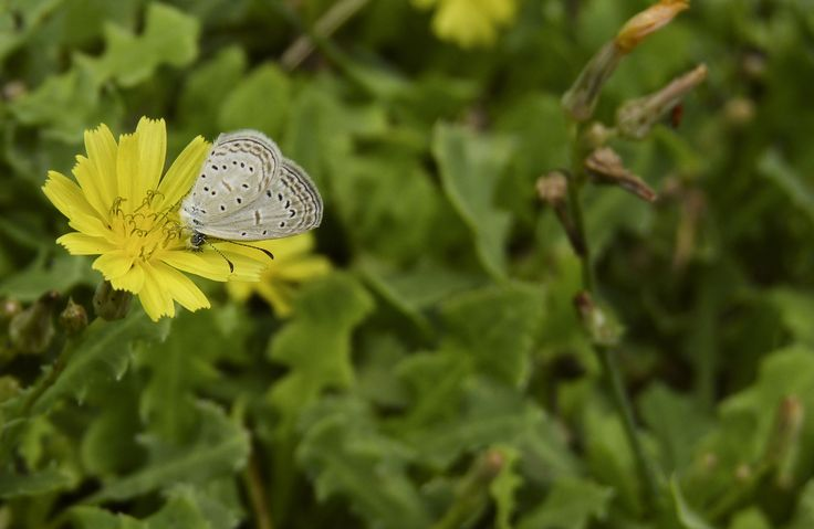 Tiny Grass Blue- one of the smallest butterflies found in India. It is on Launea/Jungli Gobi flower.