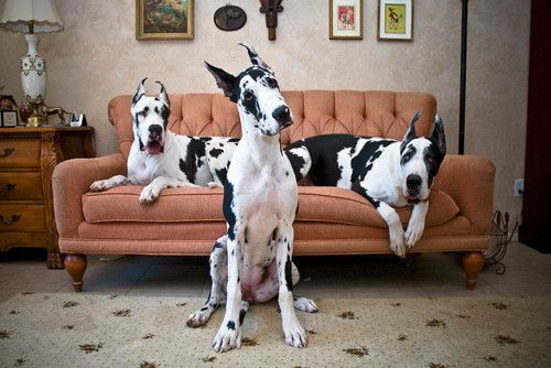 to have a great dane