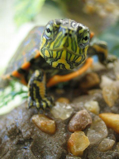 56 Best Turtle Tank Ideas Images On Pinterest Fish Tanks Turtle Tanks And Aquariums