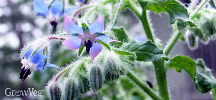 Beautiful blue borage, beloved by gardeners and bees.