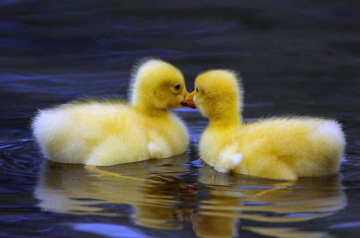 1000 Images About Canadian Geese On Pinterest