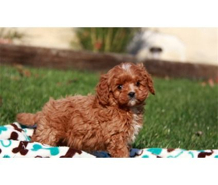 Cavapoo Puppies for Sale is a Cavapoo For Sale in Prince NY