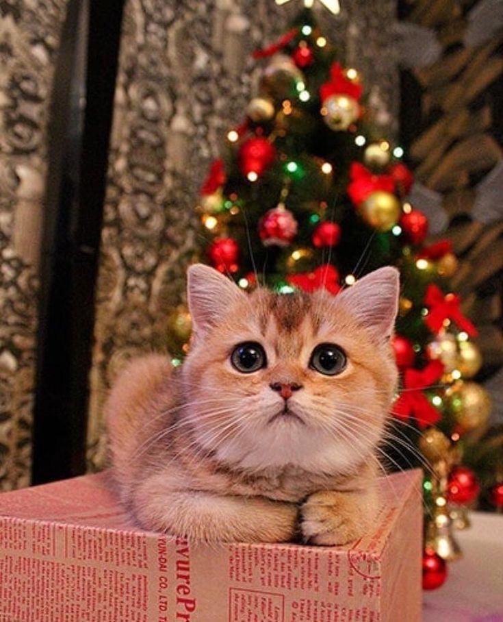 Pin by Αℓєиα on χмαѕ Christmas cats, Cute animal
