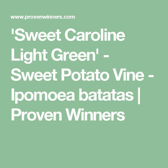 'Sweet Caroline Light Green' - Sweet Potato Vine - Ipomoea batatas | Proven Winners