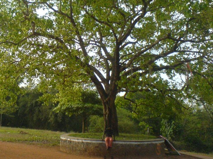 kannankad: പറമ്പ തളി ആല് മരം