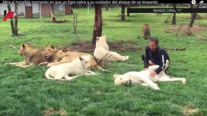 Video Menarik Macan Tutul - Hampir Diterkam, Pelatih Harimau ini Diselamatkan Hewan Asuhannya