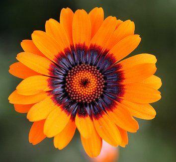 Ursinia anthemoides 'Solar Fire'| plant lust