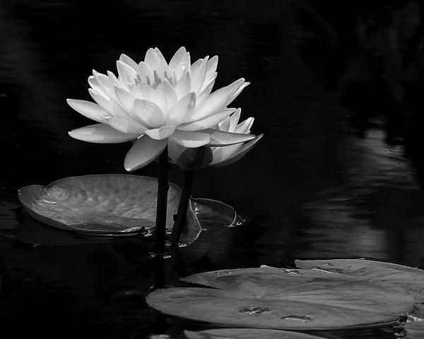 Water Lily Pair by Dawn Currie