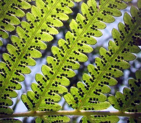 fern, sori, spores - www.backyardnature.net