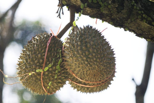 Durians in a private durian orchard, Balik Pulau