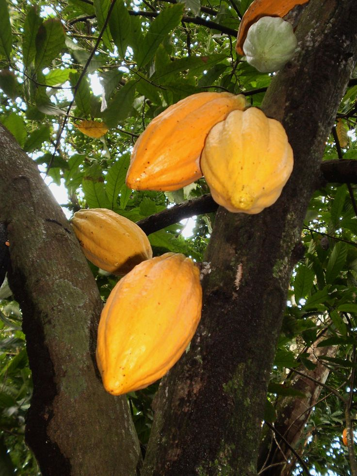 The scientific name for cacao (Theobroma cacao) is derived from the Greek words theos (god) and broma (food), meaning Food of the Gods. While some experts believe cacao originated in Mexico, more recent genetics studies point to a different origin: the Amazon. Most of the cacao in the world today are from the Ivory Coast and Ghana. Brazil comes in 5th place after Indonesia and Nigeria. AmazonDrops uses pure cacao in a series of products including soap, body scrub and body balm.
