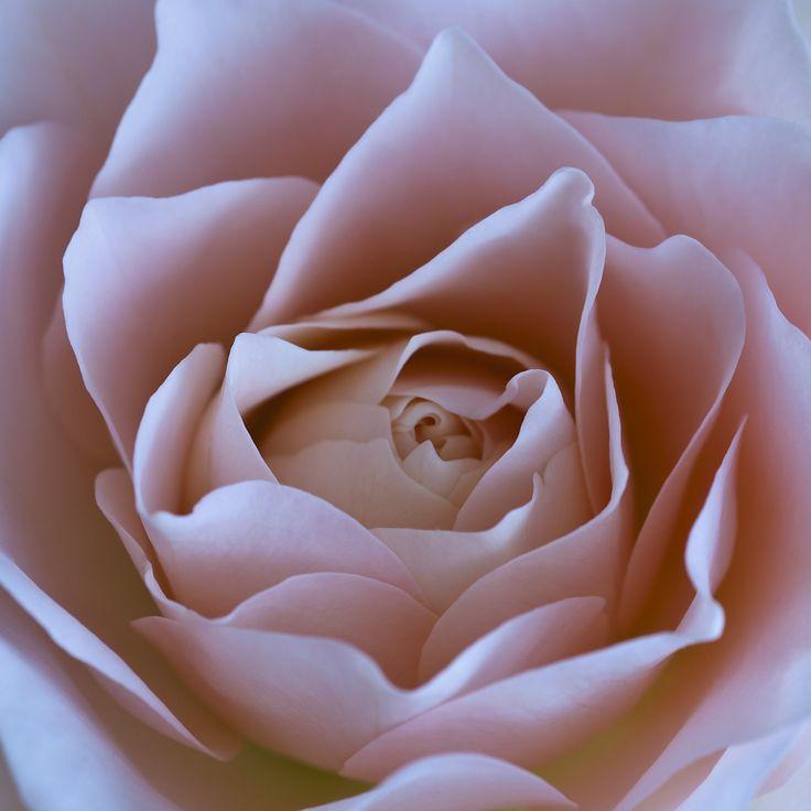 Pink Rose - © 2011 Yngve Thoresen