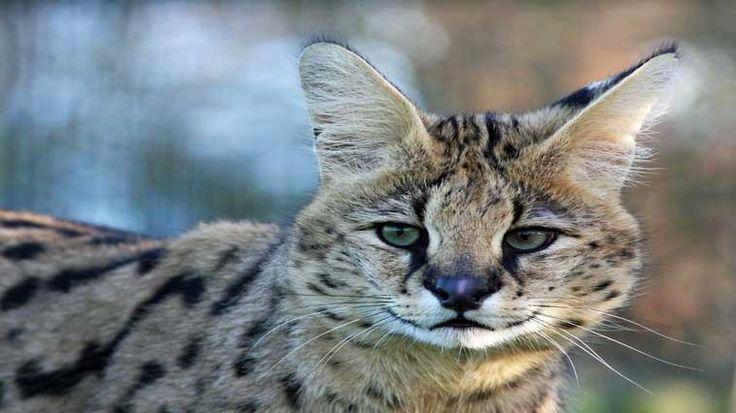 Tarih boyunca kediler ve insanlar, farklı şekillerde iletişim kurdular. Vahşi kedilerin evcilleştirilmesiyle başlayan tarih yolculuğu zaman zaman kötüye gitse de insanlar ve kediler uyum içinde yaşamayı öğrendiler. Detaylar ajanimo.com'da.. #ajanimo #ajanbrian
